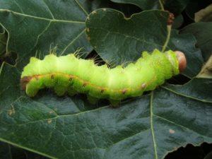 Lagarta, que futuramente sofrerá o processo de transformação em borboleta